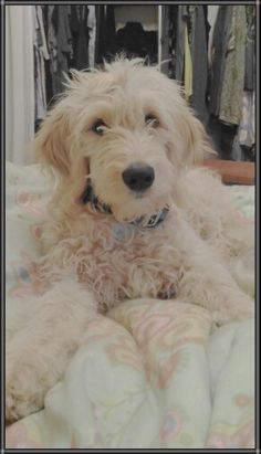 My Goldendoodle Rose Tyler