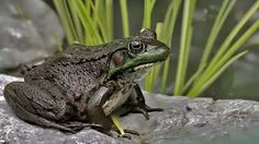 One Stop Info, Tips & Trick, and Download: Top 10 Urban Legend yang Terbukti… Green Frog, Animals, Galleries, Urban, Tips, Products, Animais, Animales, Animaux