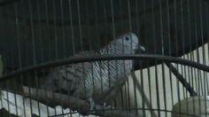 Video Suara Burung Perkutut Manggung