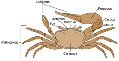 Invertebrate Diversity: Ghost Crab! by Sarah Hurtado