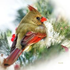 Bird Photograph - Female Northern Cardinal Square by Christina Rollo Square Art, Square Canvas, Art Prints Online, Online Art, Canvas Art Prints, Canvas Wall Art, Quality Photo Prints, Northern Cardinal, Thing 1