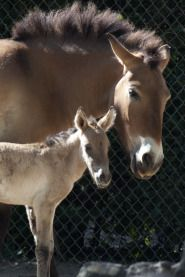 DENVER — The Denver Zoo celebrated the birth of a new Przewalski horse Friday morning. Przewalski horses are an endangered...
