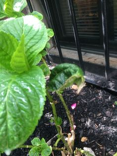 Curling leaves on hydrangea Hydrangea Leaves, Community Gardening, Plants, Leaves, Hydranga, Lawn And Garden, Plant Pests, Plant Leaves, Tree Care