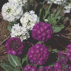 Drumstick Primrose (Primula denticulata) | My Garden Insider