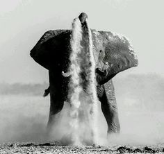 An elephant takes a dust bath at the main waterhole in Nxai Pan, Botswana ©Denis Roschlau World Elephant Day, Elephant Love, Elephant Art, African Elephant, Elephant Gifts, Beautiful Creatures, Animals Beautiful, Majestic Animals, Ivory Trade