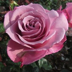 Silver Shadow - The Fragrant Rose Company