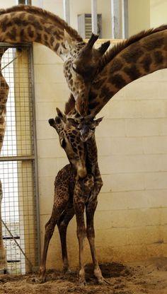 Giraffe born at the Cincinnati Zoo and Botanical Garden www.aaa.com/travel