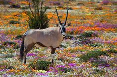 Namaqualand each spring, for a short period, this desert area is covered with wild flowers ...