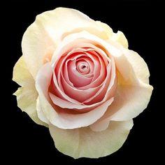 Beige Sandy Roses l Wholesale Flowers & DIY Wedding Flowers Diy Wedding Flowers, Wedding Bouquets, Blush Roses, Blush Pink, Colorful Flowers, Pink Flowers, Rose Online, Muted Colors, Beige Color