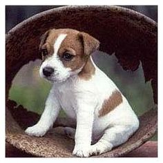 Unlike mastiffs, mini-Jack Russels think they are 200 pound guard dogs...so funny and cute!