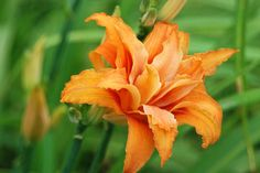 Hemerocallis fulva  Kwanso' blooming in Cherry Corner and the Front Woodland this week is all ruffles.