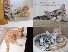 Exclusively Cats Veterinary Hospital Blog: Meet Max and Cisco, the Cats of August!