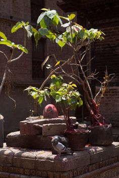 Shiva lingam and boddhi trees, Nepal