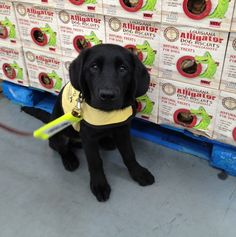 Another Update from Luther, Guide Dog in Training