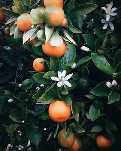 Beautiful orange tree