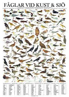 Fåglar vid kust & sjö - poster plansch