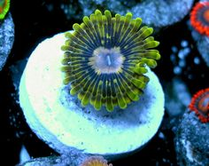 Electric Pickle Paly  http://FragJunky.com  http://Facebook.com/FragJunkyCorals
