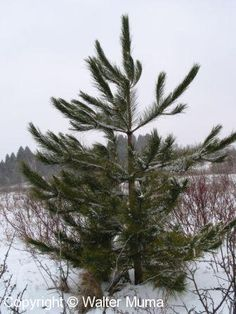 Pinus resinosa - Red Pine Zone: 2 to 5 Height: 50 to 80 feet Spread: 20 to 25 feet