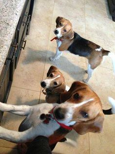 """RIZZO"" and his friends from the Beagle Freedom Project NEED YOUR HELP! Please sign the petition supporting the International Beagle Bill to help save beagles used in laboratory testing. http://www.beaglefreedomproject.org/sign_the_uk_petition PLEASE SHARE <3"