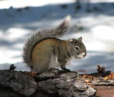Happy Squirrel Appreciation Day! We may think of squirrels as common, but that's not true of all kinds — two are federally-listed endangered species.