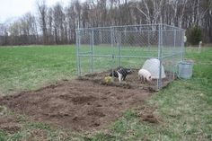"""Pigs rooting great way to """"till"""" up some land and quickly...."""