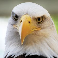 Bald Eagle- Adopt a Raptor at Vermont Institute of Natural Science..we have a nesting pair on the Creek and the lake. Wow, so wonderful to see.