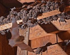 A maternal colony of small brown bats, known as Yuma myotis, roosts in the attic of the historic Hovander House at Hovander Homestead Park in Ferndale on Tuesday, Aug. 11, 2015.