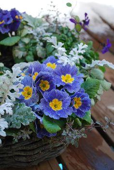 暮れに作った プリムラ・ジュリアンの寄せ植えです。  寒い冬には 暖かな色のジュリアンを選んだほうが良かったかも........。     ...