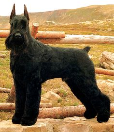 The Giant Schnauzer was originally bred in Germany by farmers to protect and herd cattle. As the largest of the three Schnauzer breeds, they are best suited for a rural life style and need room to run. Their protective temperaments make them amazing. Black Schnauzer, Schnauzer Breed, Standard Schnauzer, Miniature Schnauzer Puppies, Giant Schnauzer, Big Dogs, I Love Dogs, Dogs And Puppies, Doggies