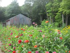 This is a photographic Art print of a barn and flower garden in Killingworth, Connecticut.