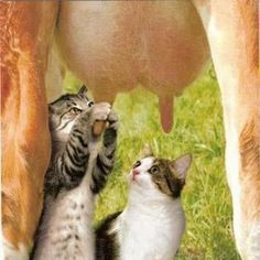 Cat Milking Cow | Most Beautiful Pages