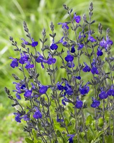 Salvia 'Blue note'