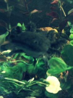 My Axolotl Adella
