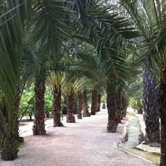 Paseo entre palmeras #visitelche #palmeral #elche #patrimoniohumanidad