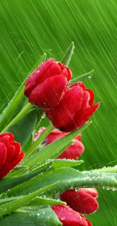 Raindrops on Red Tulips