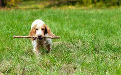 Русский охотничий спаниель (фото): самая популярная собака для охоты