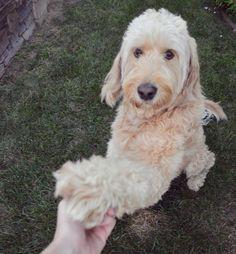 High five to Friday!    #goldendoodlesofinstagram #doodlelove #dogs #goldendoodle #bestwoof #buzzfeedanimals #lovemydog #lacyandpaws #dogdailyfeaturesss #excellent_dogs #dogsofinstaworld #ruffpost #barkbox #dog_features #barkpack #instadog #delight_pets #clubdoodle #goldendoodlesofinsta #petsmart #instadogsfeature #dogsofinstagram #california #nikon #nikonD3200 #lexiefeatureme #lizziefeatureme #ozziesfolloweroftheweek #pawtasticfeatures #highfive by ammo.thegoldendoodle