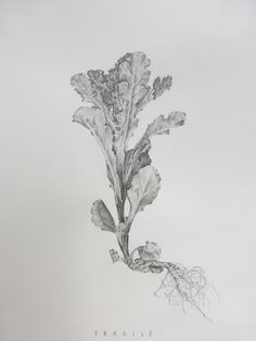 Lucy 's exquisite A2 Fine Art exam, botanical drawings - the beauty of things that grow in the wrong places. Inspired by Ruskin. Pencil on paper. Truro College 2016