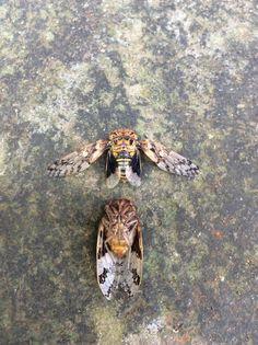 Unknown cicada... --..--