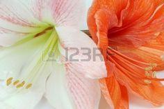 Amarilli due fiori - bianco e arancio isolato  Archivio Fotografico