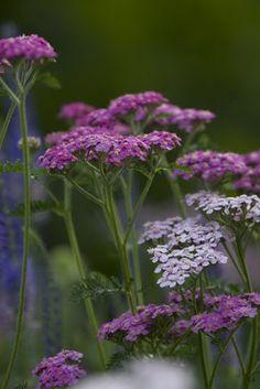 YARROW:  drought tolerant, full sun, perennial, butterflies love it. Blooms summer through fall. Love the purple!