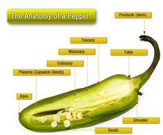 anatomy-of-a-pepper