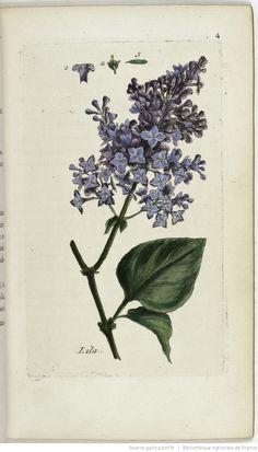 SYRINGA - Syringa vulgaris. Le lilas ou lilac / La queue de renard des…