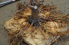 Yo no he hecho muchos trasplantes en mi vida, pero puedo decir que colocar las raices de cualquier árbol de una forma radial tiene su comple...