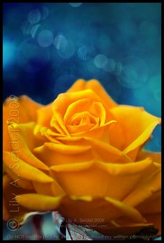 Yellow Rose of Texas ♥