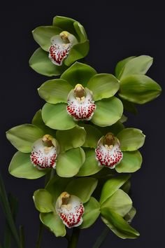Orchid: Cymbidium Lucky Shamrock 'Green Glenn' - Flickr - Photo Sharing!