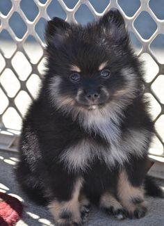 Pin On Wolfe Kennels Akc Pomeranians