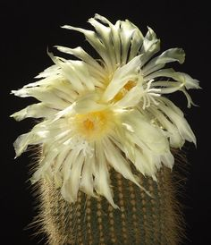 Eriocactus (Parodia) leninghausii