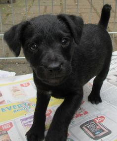 Patterdale Terrier Puppy for sale | Uxbridge, Middlesex | Pets4Homes