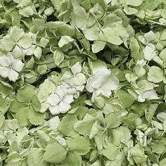 FiftyFlowers.com - Antique Green Hydrangea Petals